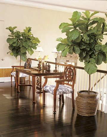 fiddle leaf fig tree | balcony | Gettin\' Figgy with It. | Pinterest ...