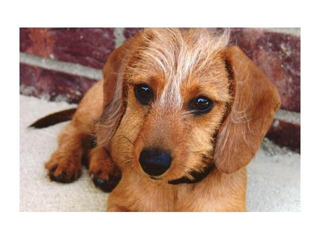 Cutest Little Face Wire Haired Dachshund Dachshund Puppies For Sale Dachshund Puppy Miniature