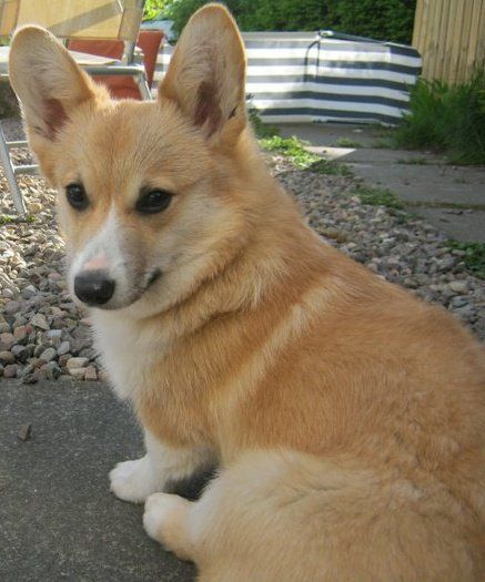 Darcy Is A Welsh Corgi And She S Just Over 2 Years Old Her Mum Elaine A Had A Corgi When She Was Younger And Decided That Corgi Corgi Pictures Corgi Dog