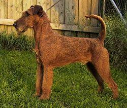 Irish red terrier o terrier irlandés de unos 25 kg y 45 cm a la cruz Perro mediano