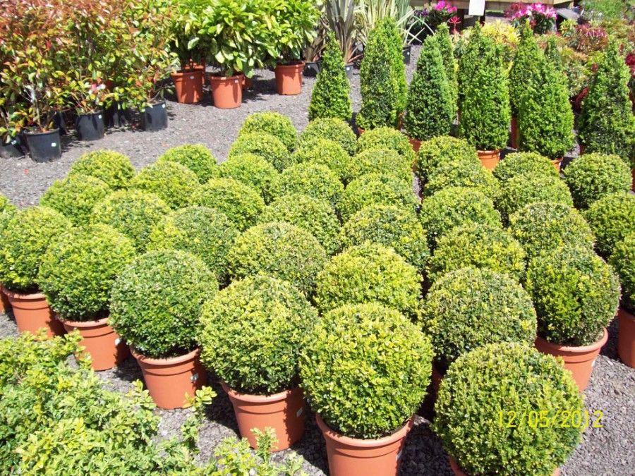 small architectural shrubs - google