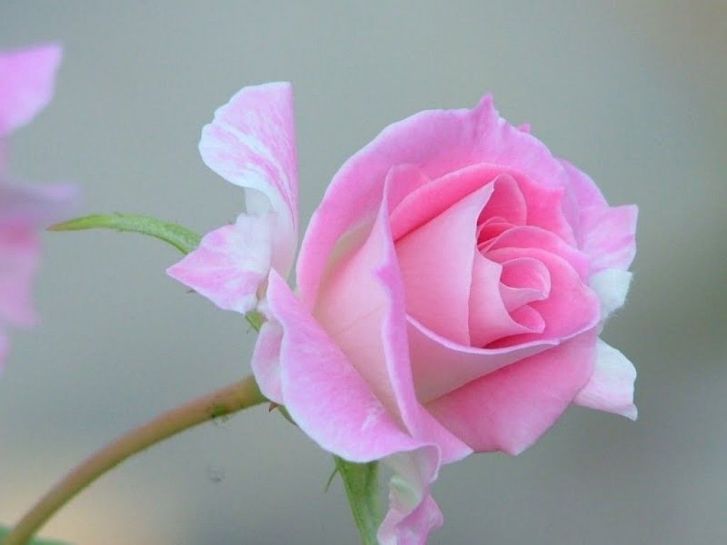 Softness Rose Love Photography Single Pink Beauty Beloved Valentines Sweet Macro Nature Tender Touch Flowers Attractions