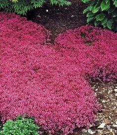 baldur garten winterhart bodendecker thymian thymus 3 pflanzen haus und garten pinterest. Black Bedroom Furniture Sets. Home Design Ideas