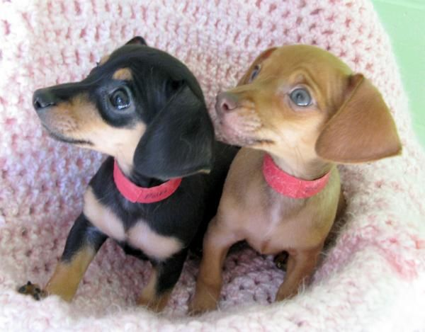 35 Funny Pictures Of Animals Chihuahua Mix Puppies Funny