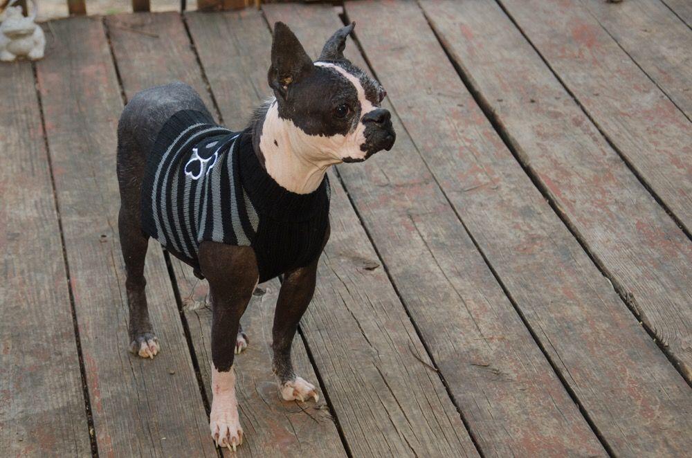 Boston Terrier dog for Adoption in Plano, TX. ADN-496617 on PuppyFinder.com Gender: Female. Age: Adult