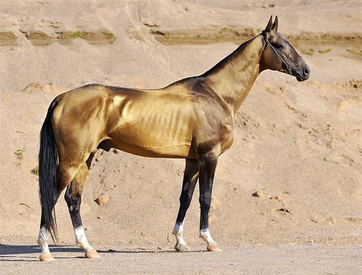 Akhal-Teke. razas de caballo
