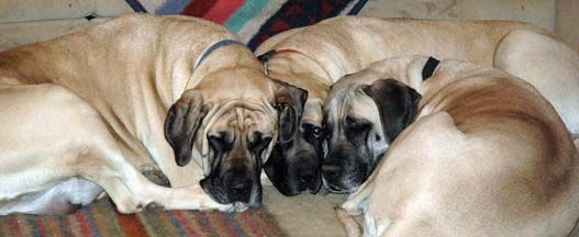 Photo Gallery, American Mastiff pictures