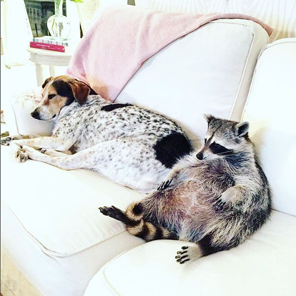 Pumpkin The Raccoon So Sweet Pinterest Raccoons Animal And - Pumpkin rescued raccoon