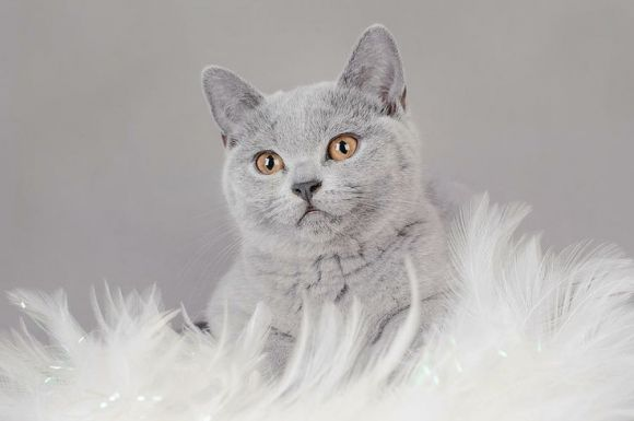 A Beautiful Grey Cat Looks Fancy British Shorthair Kittens British Shorthair British Shorthair Cats