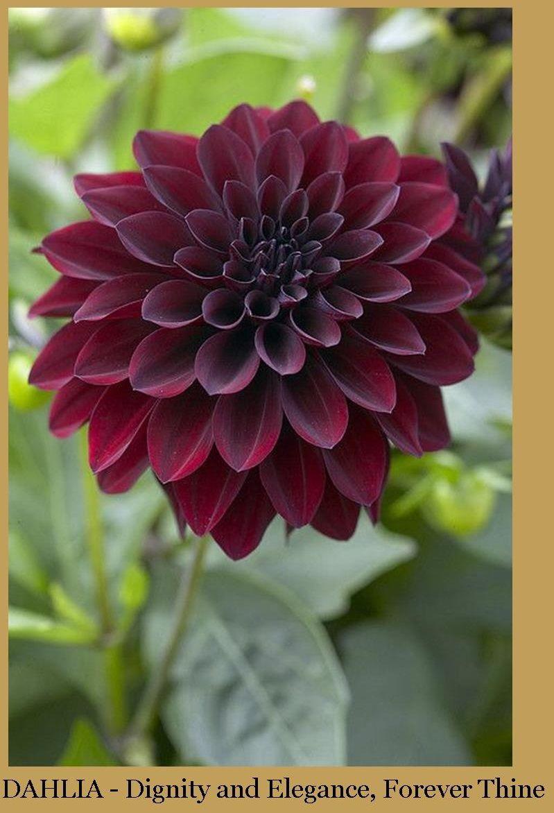 Southernsoiree Middle Tennessee Wedding Planner Dahlien Blumen Blumen Pflanzen Blumen Kunst