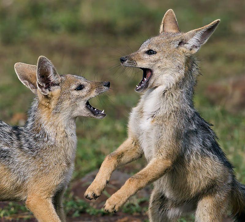 Blackbacked jackal pups playing masai mara kenya wild