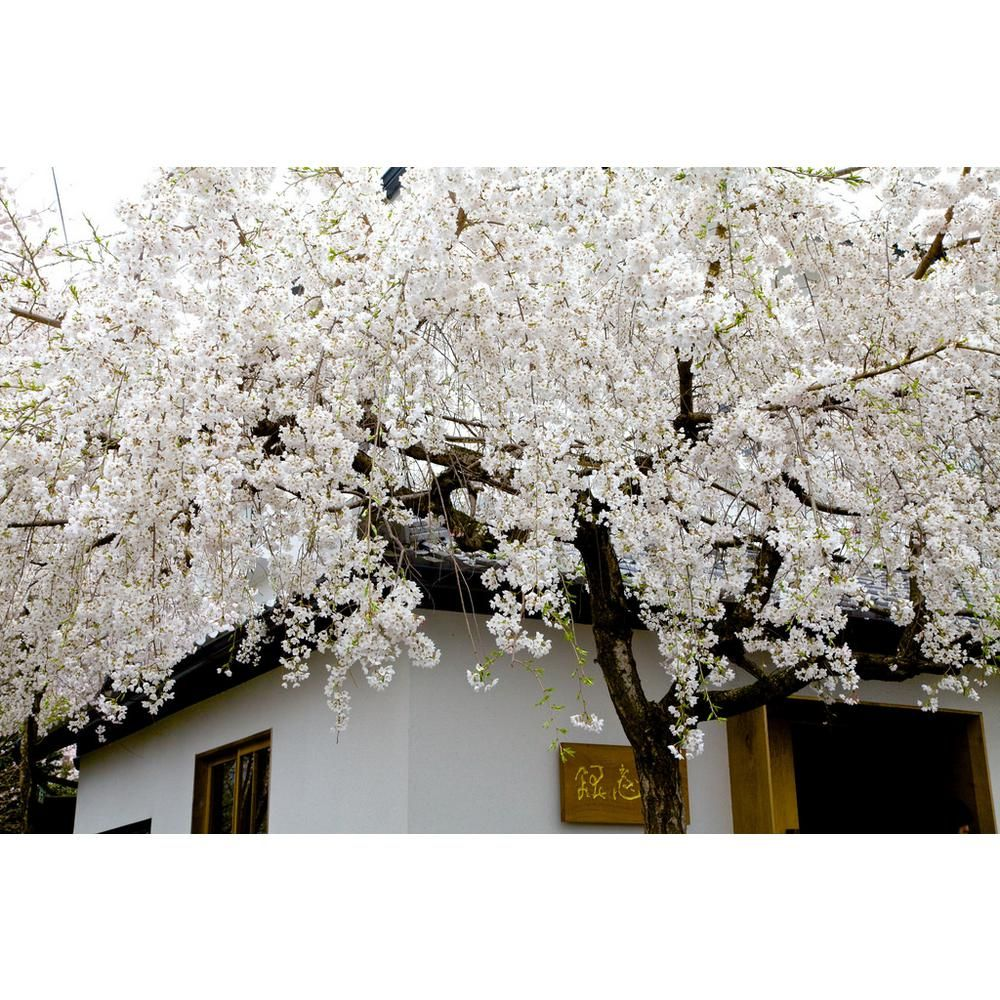 Online Orchards Snow Fountain Weeping Cherry Tree Bare Root Flwc001 The Home Depot White Cherry Blossom Weeping Cherry Tree Ornamental Cherry