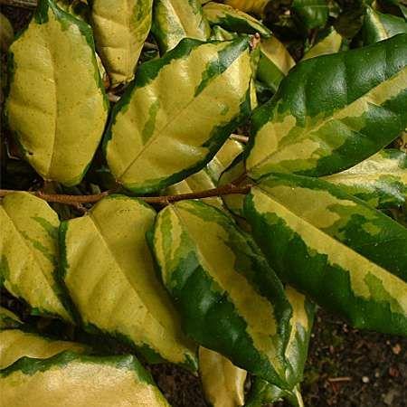 Elaeagnus x ebbingei 'Coastal Gold'