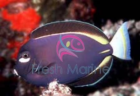 White Cheek Tang Acanthurus Nigricans Whitecheek Powder Brown Buy Cheap Gold Rimmed Surgeon Fish At Wholes Colorful Fish Life Under The Sea Marine Fish