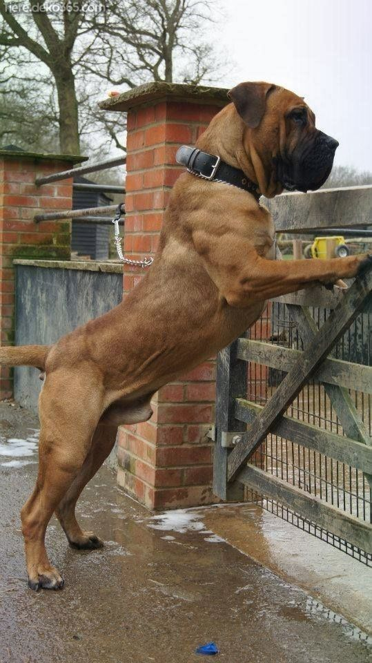 Photo of Beautiful best dog pictures Boerboel