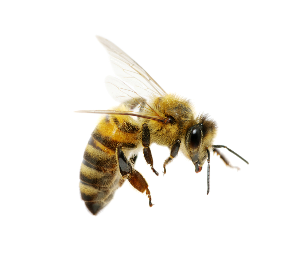 Bee Png Bee Png Image Free Bee Picture Png Download 429 442 Png Download Free Transparent Background Bee Png Png Download Bee Pictures Bee Bee Painting