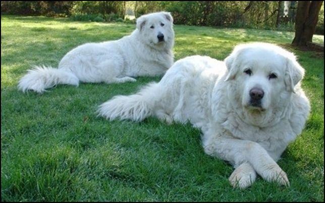 dos perros pastores de maremma blancos adultos