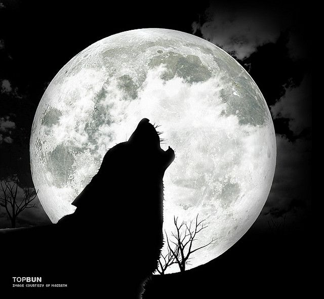 Wolf Howling At The Moon Picture