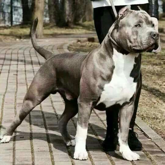 Pin By Albert Torres On Pittbulls My First Love Pitbull Terrier American Pitbull Terrier Dog Breeds