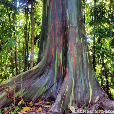rainbow eucalyptus trees photo by rachel staggs magical maui