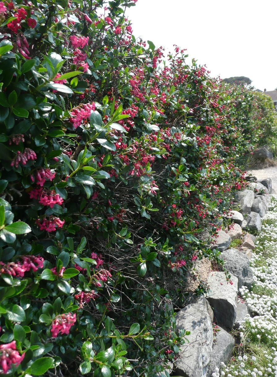 In mild areas Escallonia make great hedges