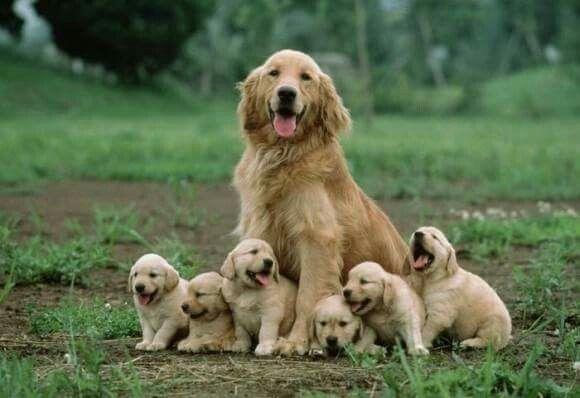 Excellent Shot Dogs Golden Retriever Cute Animals Retriever Puppy