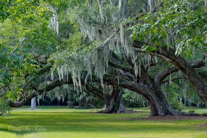 The Old Oak Trees With Spanish Moss Looked So Beautiful