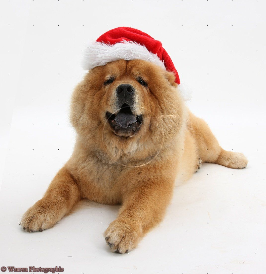 Christmas Chow Chow Merry Christmas Card Puppy Holiday Dogs Santa