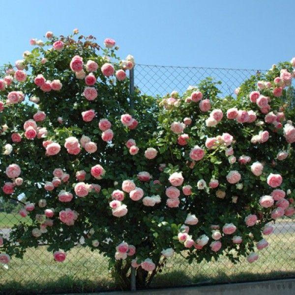 Pierre De Ronsard Eden Rose Climbing Rose Bush