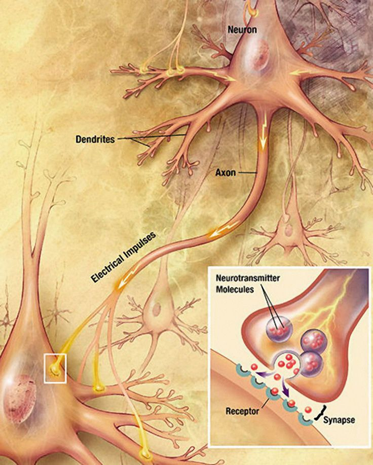 What are the Functions of Neurons? | Brain anatomy, Anatomy and Brain