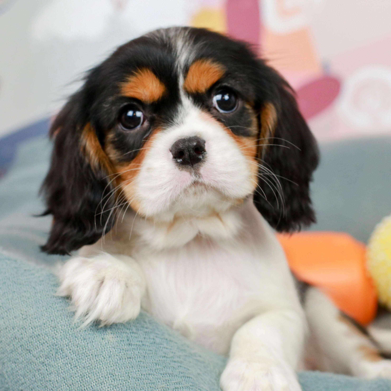 Cavalier King Charles In 2020 Cavalier King Charles Dog King Charles Dog Cavalier Puppy