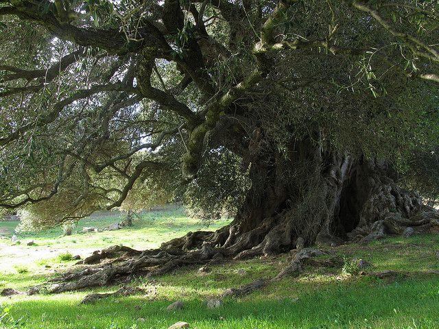 #4000yearsoldtree #oldesttreeineurope #sardinianwildolivetree #olivastrimillenari