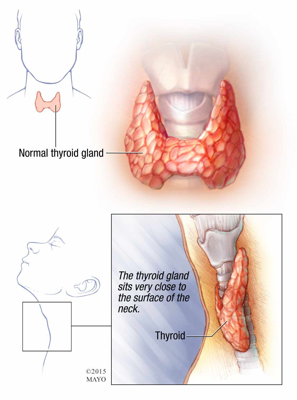 illustration of normal thyroid gland | Health and Wellness ...
