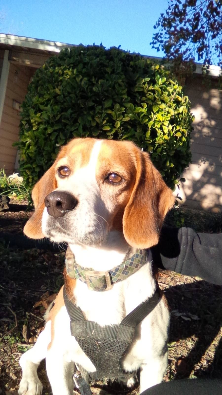 Sarah Jaimes Lost And Found Beagles December 29 2014 Missing