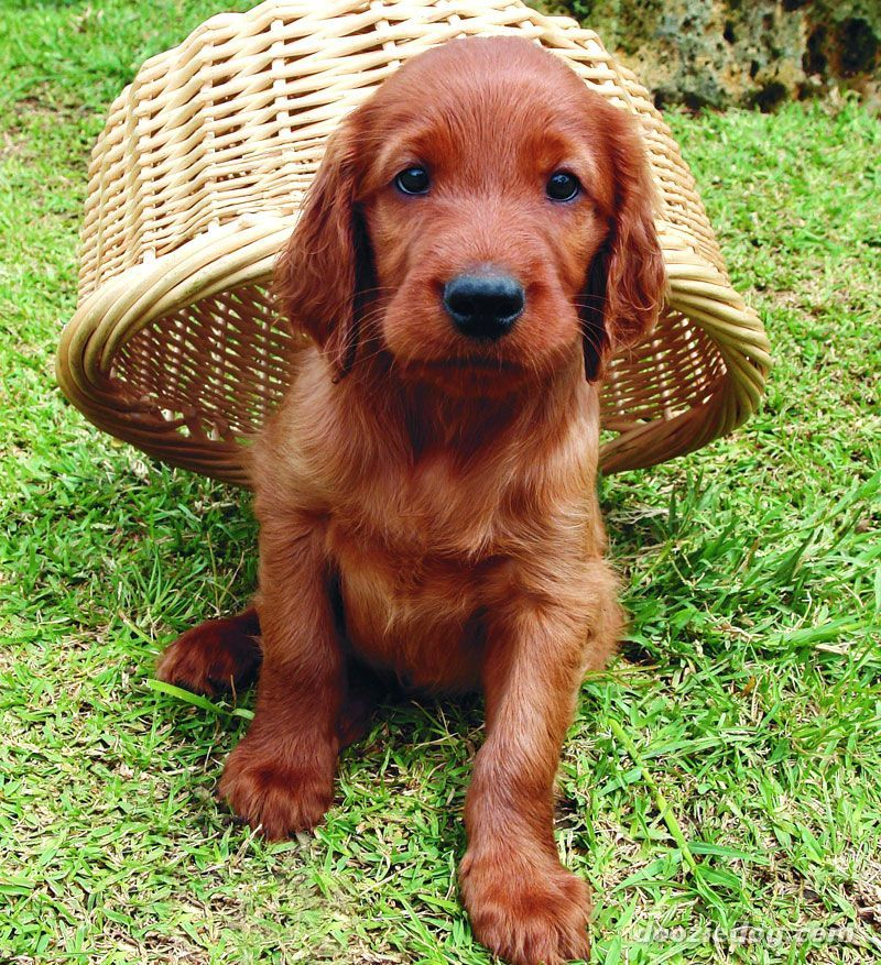 29 best apartment dogs for small spaces irish setter for Best little dogs for apartments