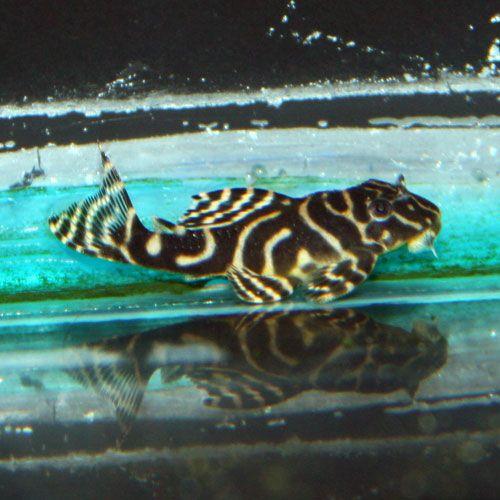 Yellow King Tiger Pleco Hypancistrus Sp L333 Aquarium Fish Fish Pet Freshwater Aquarium