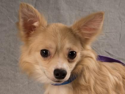 Petango Com Meet Papi 8m 13d Chihuahua Long Coat Available For Adoption In Colorado Springs Co Chihuahua Pets Pet Search