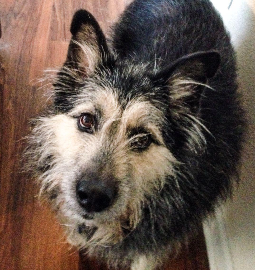 irish wolfhound german shepherd mix