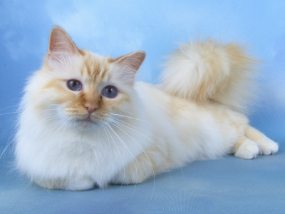 The Birman Cat Flame point, or cream point, some say red