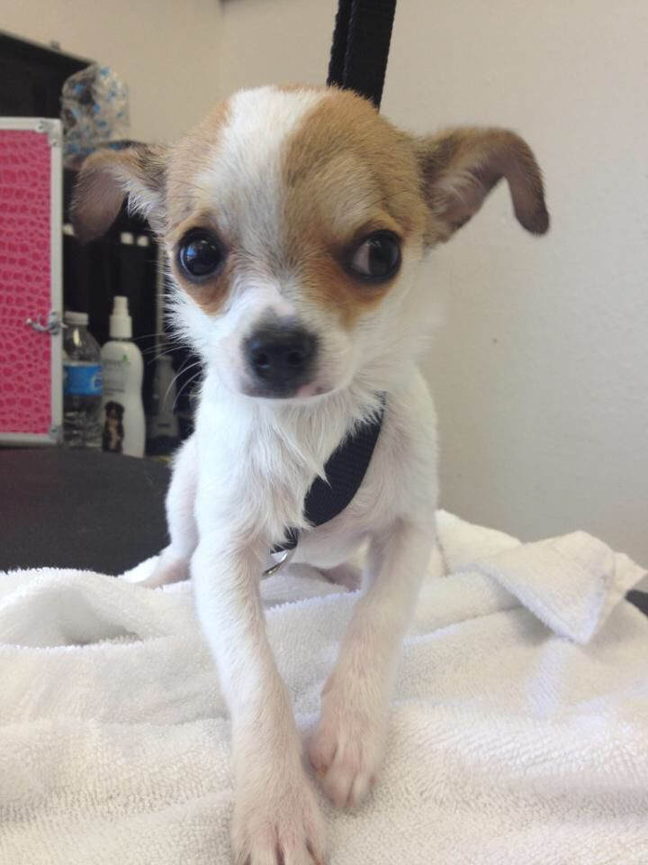 Am I Done With My Bath Yet Bentley The Chihuahua Cute Little