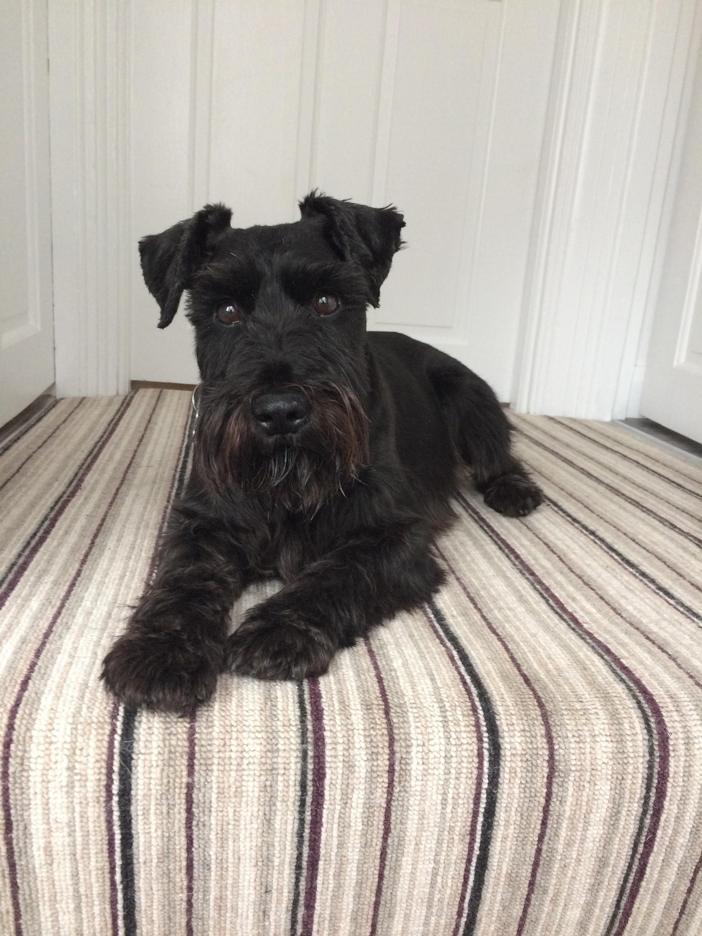 Schnauzer Miniatureschnauzerblack I Need That Animal Miniature Schnauzer Schnauzer Schnauzer Puppy