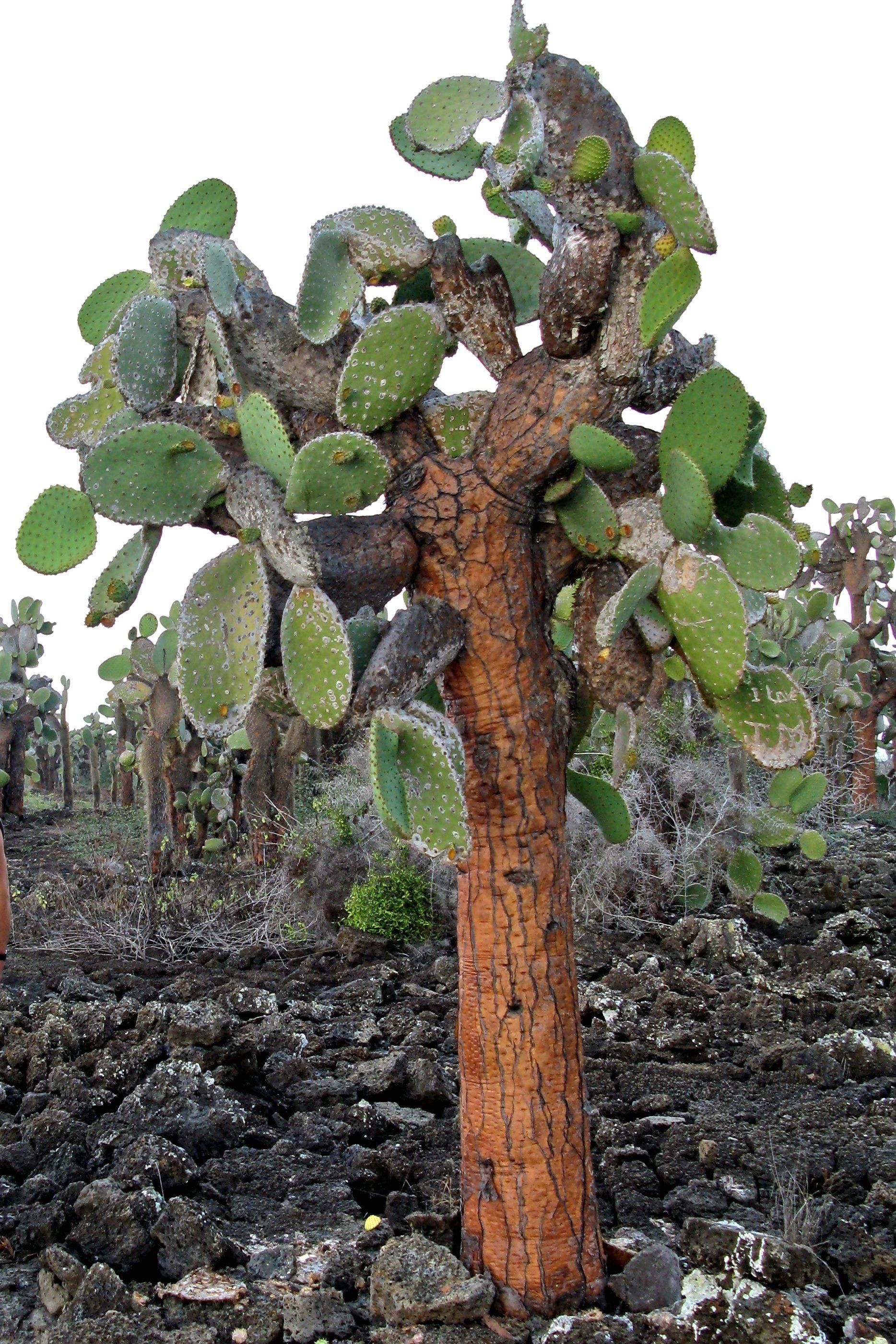 Cactus Opuntia Echios Galapagos Equdor Plants Rastline