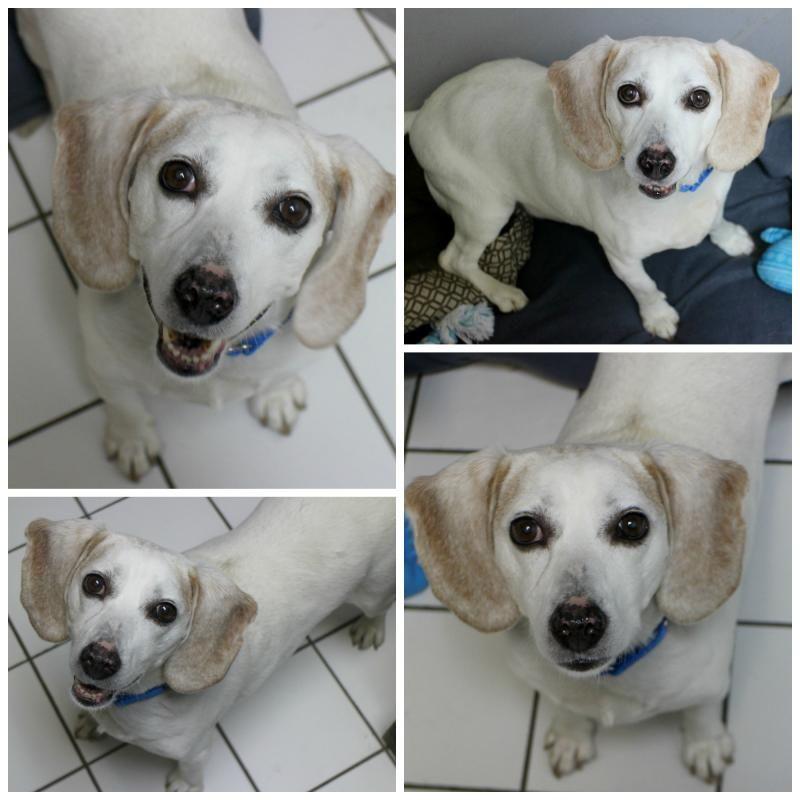 Adopt joey on adoptable beagle beagle dog humane society