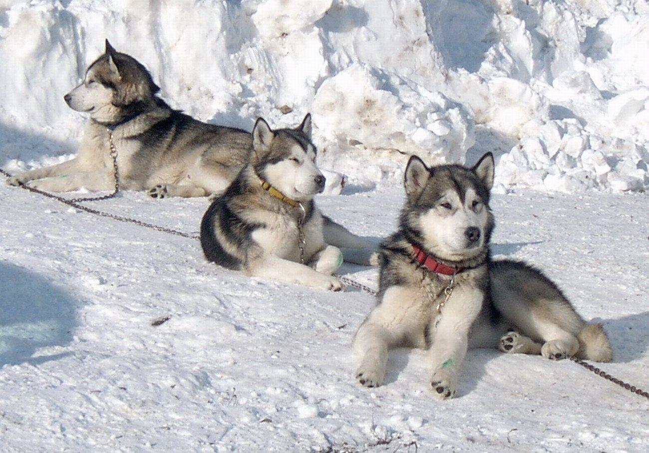 Alaskan Malamute Malamute Husky Malamute Alaskan Malamute Puppies