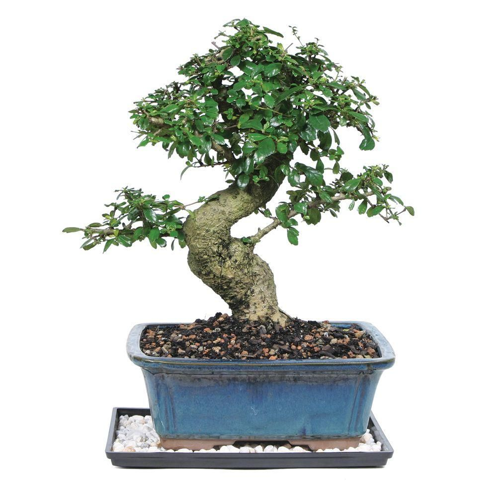 Brussel S Bonsai Fukien Tea Bonsai Ct 9002ft The Home Depot In 2020 Fukien Tea Bonsai Bonsai Tree Types Bonsai Tree