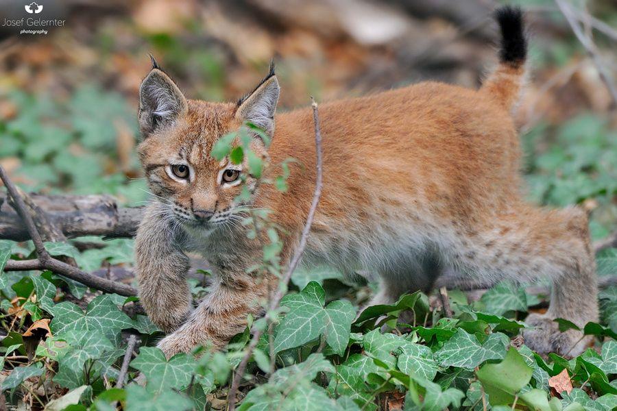 little lynx by Josef Gelernter