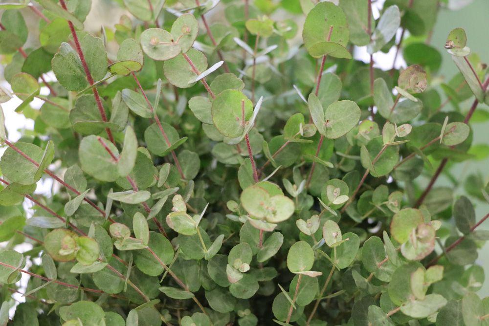 Eukalyptus – Pflanzen, Pflege & Schneiden