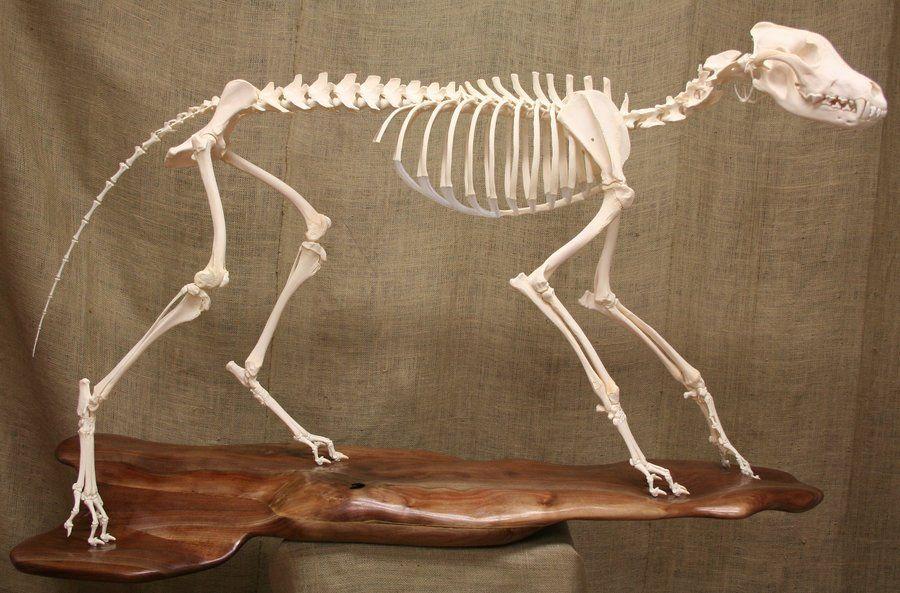 Timber Wolf Skeleton by ~Mad-Taxidermist on deviantART | Animals ...