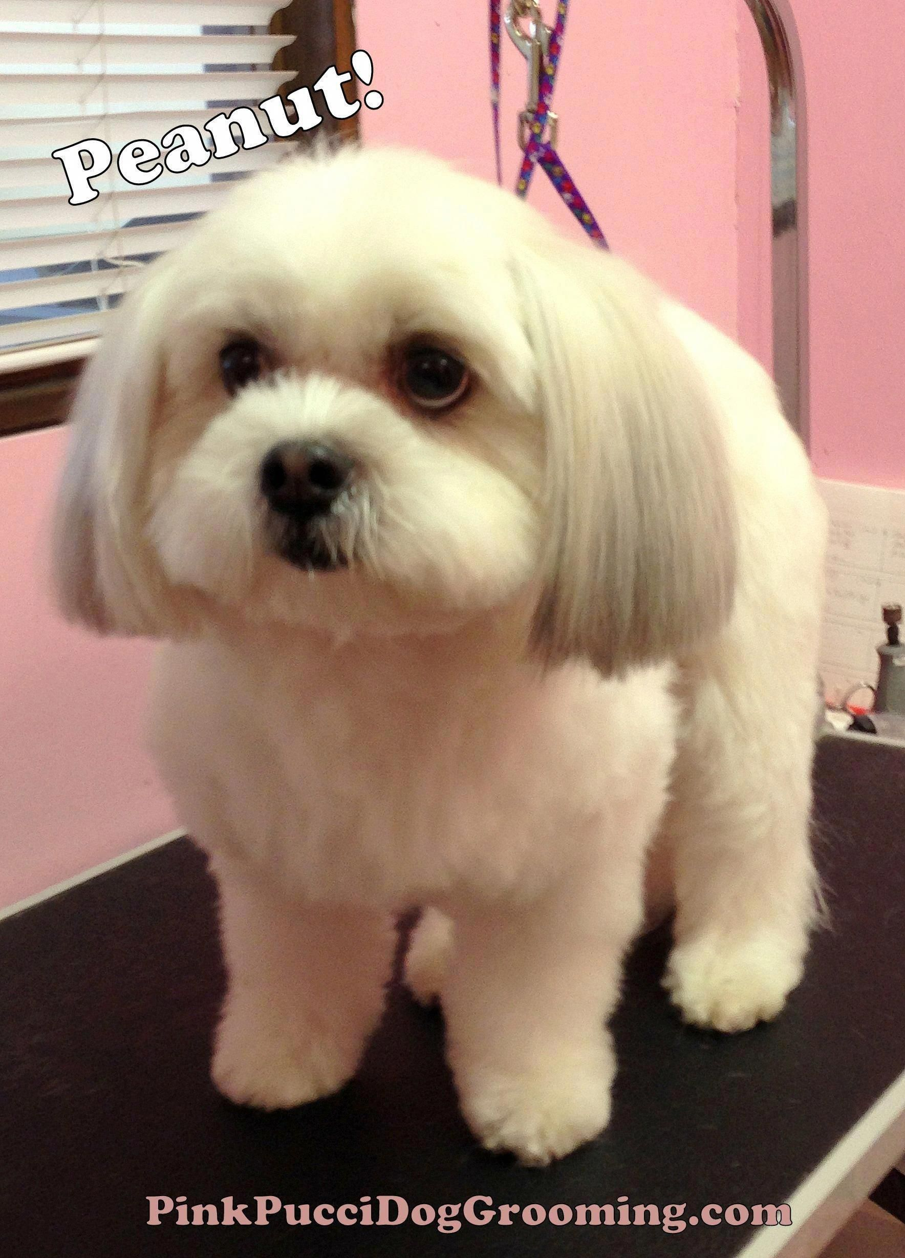 Havanese Tips Havanese Dog Grooming Havanese Dogs Dog Haircuts