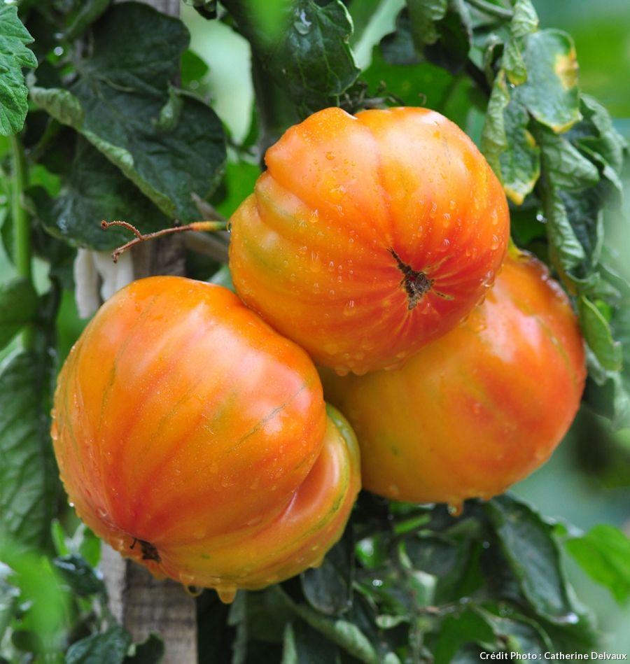La Tomate Ananas Potager Tomates Tomate Ananas Et Culture Tomate